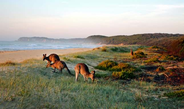 Kangaroos Grazing on the Beach