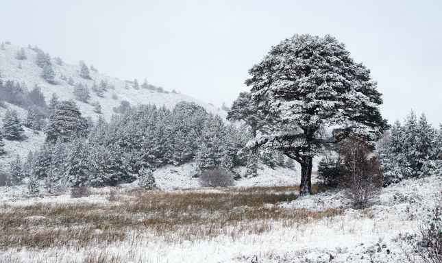 Snow covered Scots Pine trees at Glenmore Forest Park, Cairngorms in the Scottish Highlands, UK.