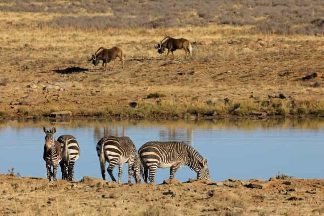 Cape mountain zebras at a waterhole