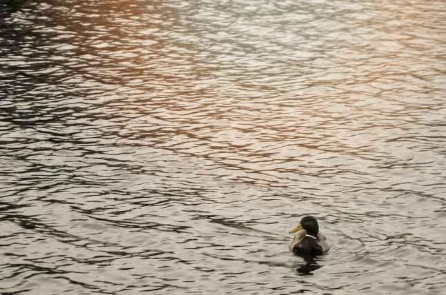 Watermead Park, Duck on water